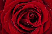 LOVE, dark red rose macro shot with wonderful dew drops — Stock Photo
