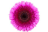 Perfect Pink Gerber Daisy — Stock Photo