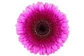 Perfect Pink Gerber Daisy — Stock Photo