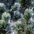 Frozen evergreen — Foto Stock