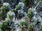 Frozen evergreen — Stock Photo