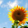 Sunflower — Stock Photo #4357398