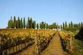 Vineyard in Chiantishire — Stock Photo
