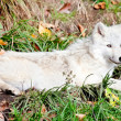 Stock Photo: Young Arctic Wolf Lying Down on Fall Day