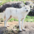 Young Arctic Wolf Standing on Rocks - Stock Photo