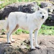 Stock Photo: Young Arctic Wolf Standing on Rocks