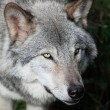 Gray Wolf Close-Up — Stock Photo