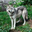 Gray Wolf — Stock Photo #3998932