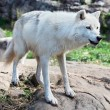 Arctic Wolf Standing on Rocks — Stock Photo