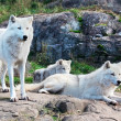 Stock Photo: Family of Arctic Wolves