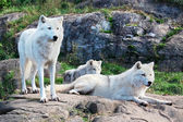 Family of Arctic Wolves — Stock fotografie