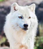 Young Arctic Wolf Close-Up — Стоковое фото