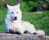 Young Arctic Wolf Lying Down on a Fall Day — Stock Photo