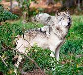 Gray Wolf — 图库照片