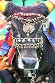 圣洁的公牛 — 图库照片