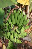 Wiązka bananów — Zdjęcie stockowe