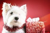 Cachorro branco — Foto Stock