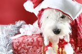 White puppy — Stockfoto