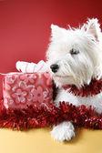Cachorro blanco — Foto de Stock