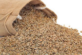 Rye Grain — Stock Photo