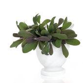 Sage Herb Leaves — Stock Photo