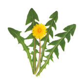 Dandelion Herb Flower — Stock Photo