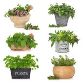 Herbs in Containers — Stock Photo