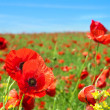 Poppy flowers field - Stock Photo
