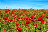 Summer poppy flowers — Stock Photo