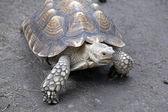 Черепаха — Stock Photo