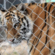 Tiger in a cage — Stock Photo