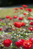 Garden full of beautifully vibrant red roses — Stock Photo