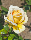 Closeup of a vibrant yellow rose in bloom — Stock Photo