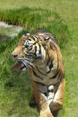 Tiger on the prowl — Stock Photo