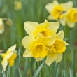 Stock Photo: Daffodil