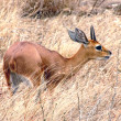 Duiker in the grass — Stock Photo