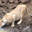Lioness at waterhole — Stock Photo
