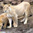 Lionesses at waterhole — Stock Photo