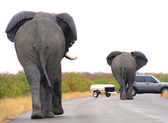 Elephants on the road — Stock Photo