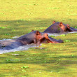 Hippos in a pond — Stock Photo