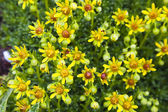 Beautiful yellow flowers in Julian Alps (Saxifraga aizoides) — Stock Photo