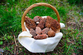 Basket Of fresh Morel Mushrooms — Stock Photo