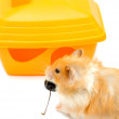 Hamster and house — Foto Stock