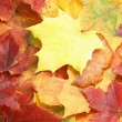 Maple leaves — Foto Stock #4055466