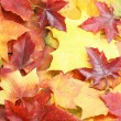 Maple leaves — Foto de stock #4077580