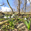 White snowdrops in an forest - Stock Photo