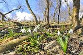 Ormanda beyaz kardelen — Stok fotoğraf
