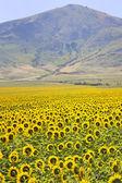 Montañas y girasoles amarillos — Foto de Stock