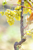 Yellow grapes in the vineyard — Stock Photo
