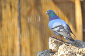 Pigeon on rocks in spring time — Stock Photo